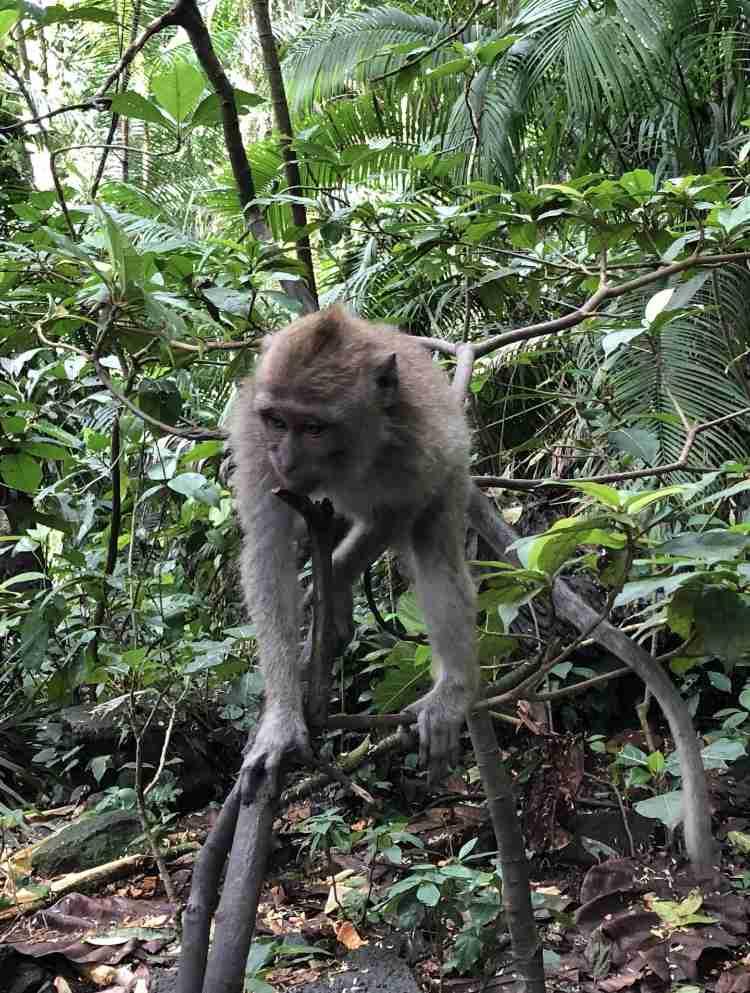 scimmie al Pura Luhur Uluwatu
