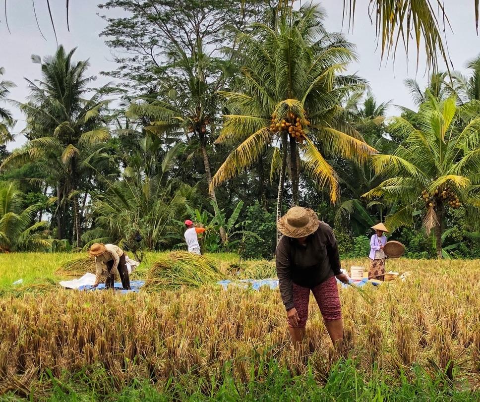 Le risaie a Ubud