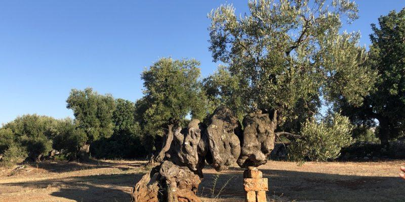Gli Ulivi monumentali in Valle d'Itria